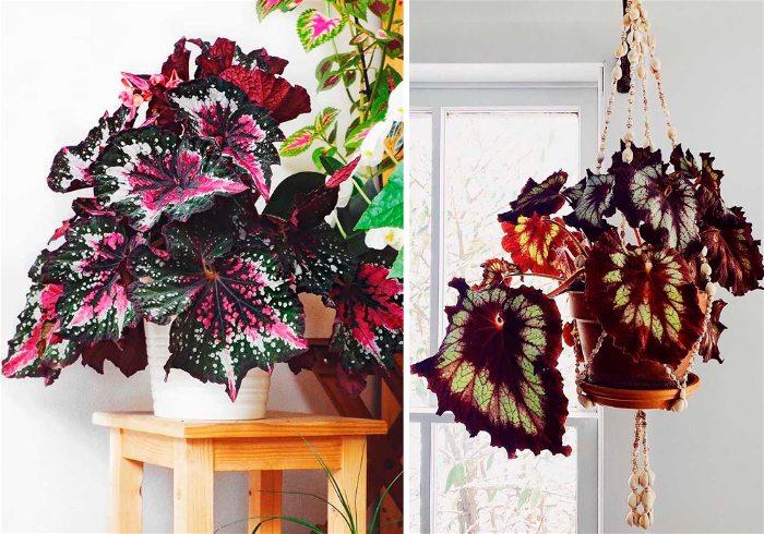 Plantas para interiores begonia