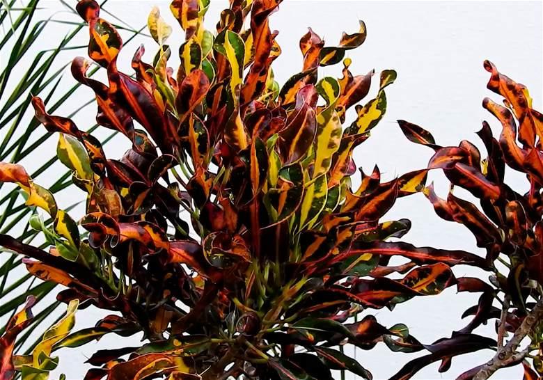 Plantas para interiores Croton