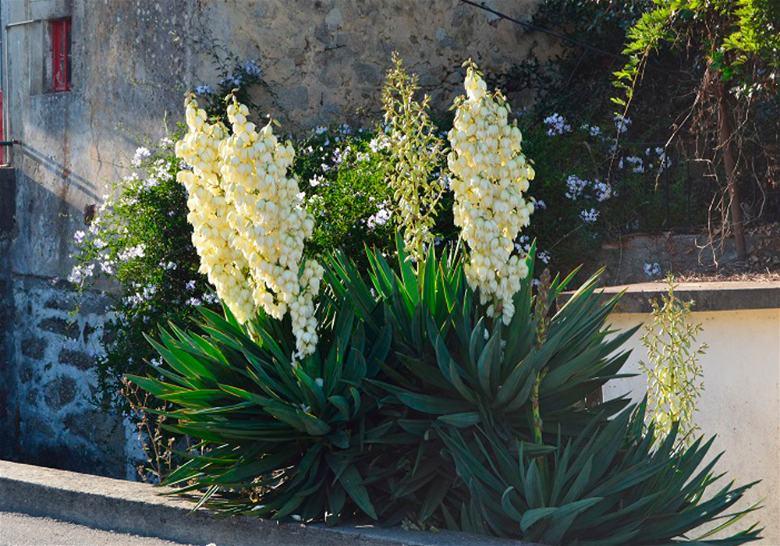 Plantas para interiores Iuca