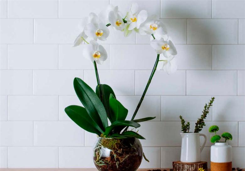 Plantas para interiores orquidea