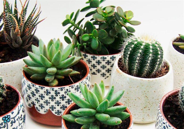 Plantas para interiores suculenta